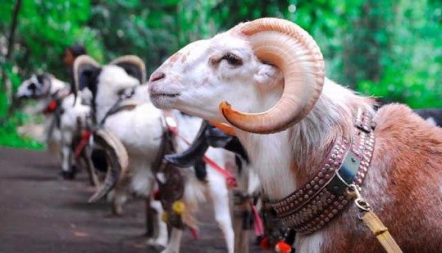 Cara Merawat Domba Garut Biar Cepat Besar Gemuk dan Sehat