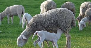 Manajemen Perawatan dan Pemeliharaan Domba – Kambing