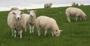Pakan dari Hijauan yang Disukai Domba Kambing